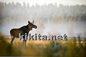 Case of Mad Moose Disease Oppdaget i Alberta